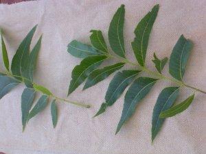 Leaf prints 002