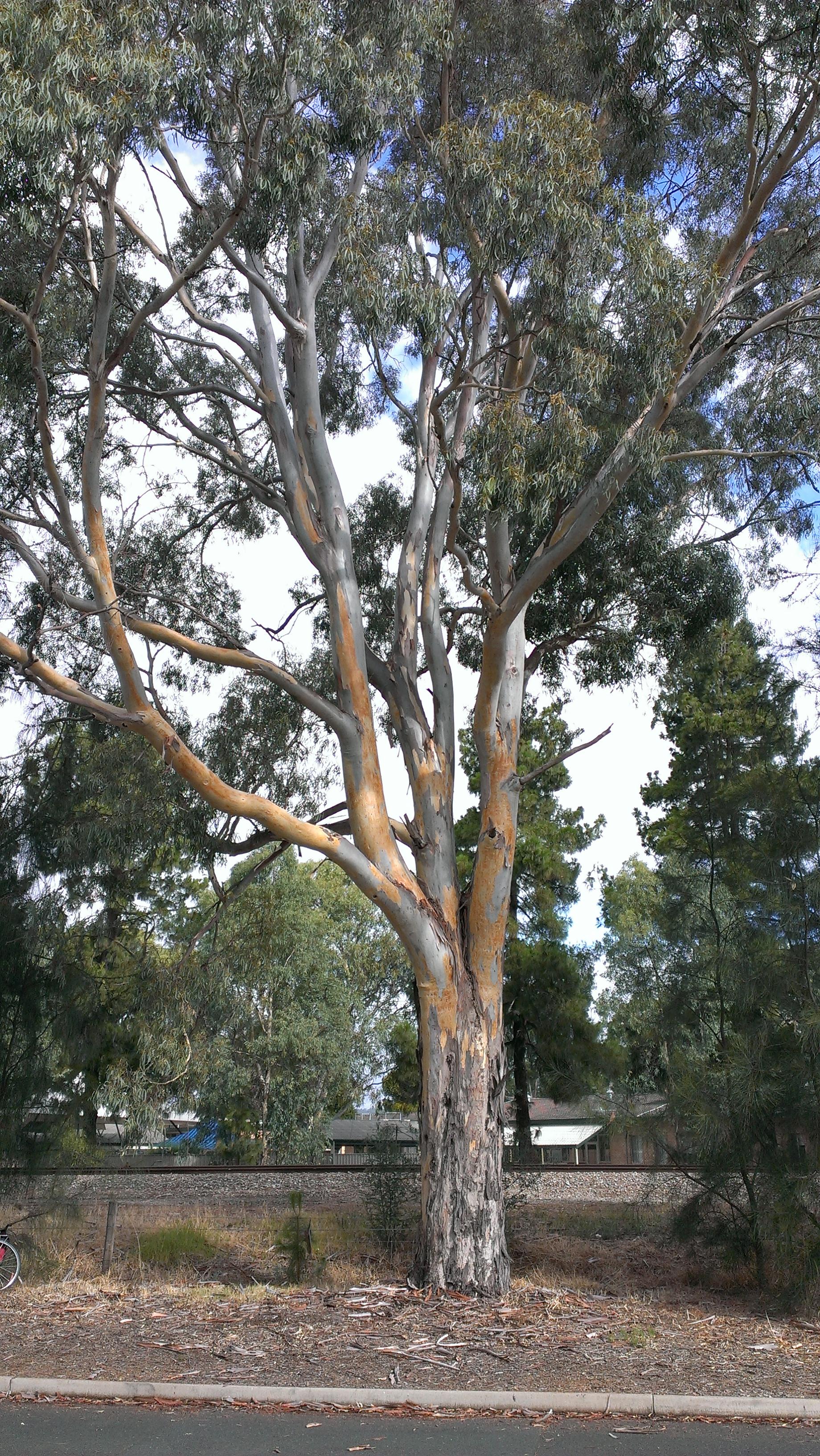 Planting Under Eucalyptus Trees : Eucalyptus camaldulensis bark dyepot local bespoke