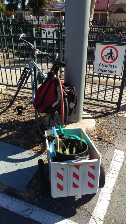A bike and bike trailer parked by the tram line with two watering cans and two buckets of seedlings in the trailer.