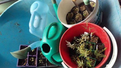 Two buckets full of seedlings in pots, two watering cans and some tools in a blue wheelbarrow.