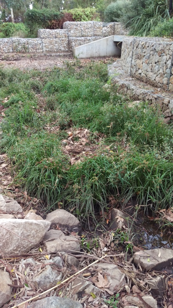A culvert exit with gabion walls, and a lot of weeds growing in leafy, rocky creek bed.